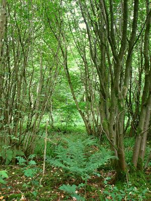 Various species of old coppice